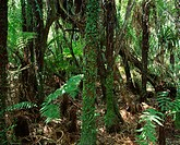 Dense woodland, Paparoa National Park, Westland, New Zealand, Pacific