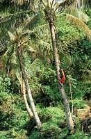 Boy climbing coconut palm, Lalomanu Beach, Upolu Island, Western Samoa, Pacific