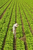 Worker in lettuce field