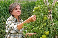 Woman inspecting tomato plant