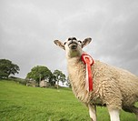 Prize_Winning Sheep With Rosette