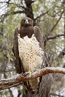 Martial eagle Polemaetus bellicosus, Kgalagadi Transfrontier Park, encompassing the former Kalahari Gemsbok National Park, South Africa, Africa