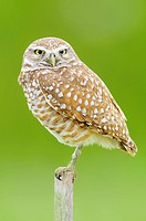 Burrowing Owl (Athene cunicularia). Cape Coral, Florida, USA.