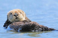 Sea Otter (Enhydra lutris). Monterey, California, USA