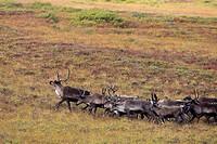 Caribou (Rangifer tarandus). Seward Peninsula, Alaska, USA