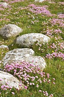 Thrift or Sea Pink, Armeria maritima, amongst granite boulders
