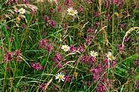 Wild flowers thrive in an old meadow, in August, in Devon, England