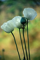 Opium poppies, Chiang Mai, Thailand, Southeast Asia, Asia