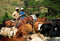 Cattle round_up in high pasture, Lonesome Spur Ranch, Lonesome Spur, Montana, United States of America, North America