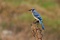 Blue jay, South Florida, United States of America, North America