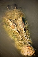 Crocodile swimming in river