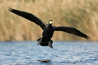 Great cormorant , Phalacrocorax carbo , landing on lagoon