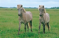 two Icelandic horses on meadow restrictions: Tierratgebebücher, Kalender / animal guidebooks, calendars