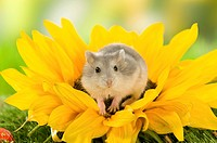 Dzhungarian Dwarf Hamster on sunflower restrictions: Tierratgebebücher, Kalender / animal guidebooks, calendars