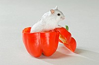 Dzhungarian Dwarf Hamster in red capsicum / Phodopus sungorus restrictions: Tierratgeber_Bücher, Kalender / animal guidebooks, calendars
