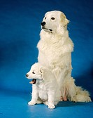 Kuvasz with puppy