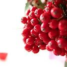 close_up rowan berries