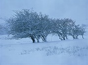 Trees covered in snow in winter in Cumbria, England, United Kingdom, Europe
