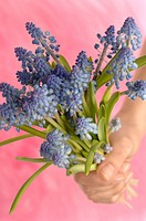 grape hyacinths with rose background
