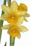 close_up daffodils in blossom
