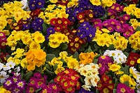 Primulas, mixed colours, United Kingdom, Europe