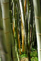 Bamboos (thumbnail)