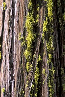 Séquoias, Yosemite National Park, Californie (thumbnail)