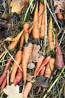 Carrots on the ground
