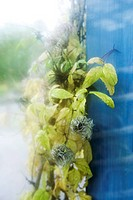 Wilted clematis growing by blue pole