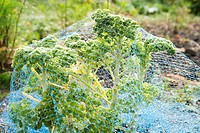 Kale covered in netting