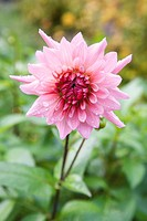 Dew-covered pink dahlia