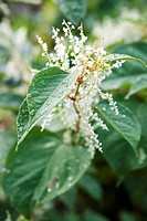 Elder flowers