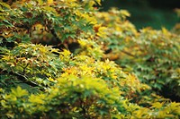 Lush leaves of Japanese Maple beginning their autumnal change from green to yellow
