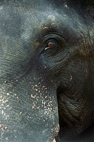 Sri Lankan elephant, close-up of face