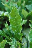 Bay tree, wet with dew, close-up