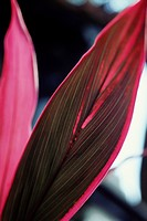 Fuchsia leaves of tropical Ti plant Cordyline fruticosa