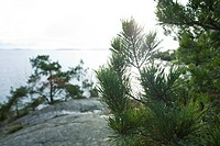 Close-up of pine branches, sea in background