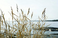 Tall grass growing along water's edge