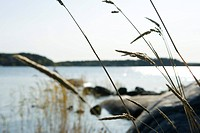 Tall grass growing along water's edge, focus on foreground