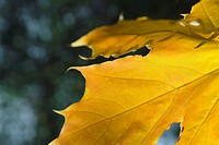 Yellow leaf, extreme close-up