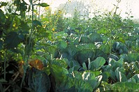 Cabbage growing in field