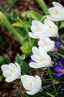 White Crocuses (Crocus vernus)