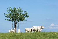 White cattle in pasture