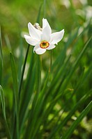 Poet´s Daffodil in a meadow in spring, Pyrenees, Spain