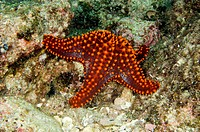 Panamic Cushion Star, Pentaceraster cumingi, Sea of Cortez, Mexico