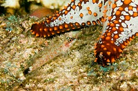 Lizard Triplefin, Crocodilichthys gracilis, largartija tres aletas, distinguished by 3 dorsal fins, Sea of Cortez, Mexico