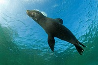 California Sea Lion, Zalophus californianus, Los Islotes, Mexico, Sea of Cortez
