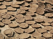 Dried cow dung cakes,Piles of cow pates stacked for used as fuel in rural India Vadgaon budruk, Pune, Maharashtra, India