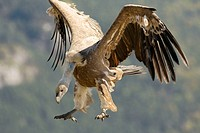 Griffon vulture, Gyps fulvus, preparing to land