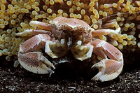 Porcelain crab (Neopetrolisthes maculatus) on an anemone. Lembeh Strait, Celebes Sea, North Sulawesi, Indonesia